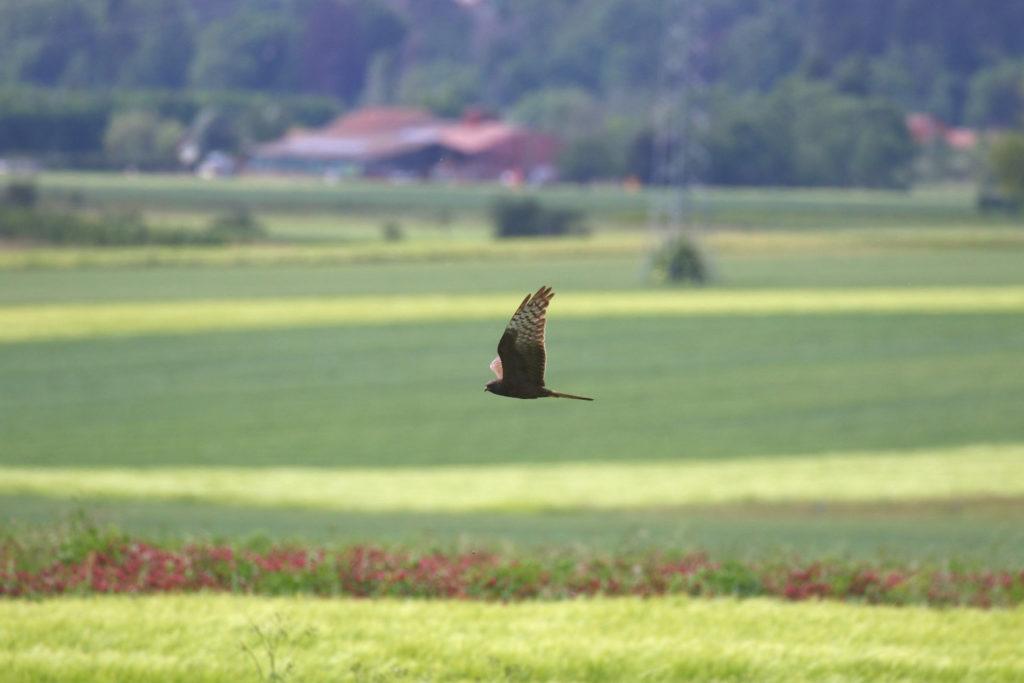 Busard cendré femelle mélanique - Moulin de Thuile