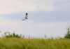Busard cendré mâle - Moulin de Thuile