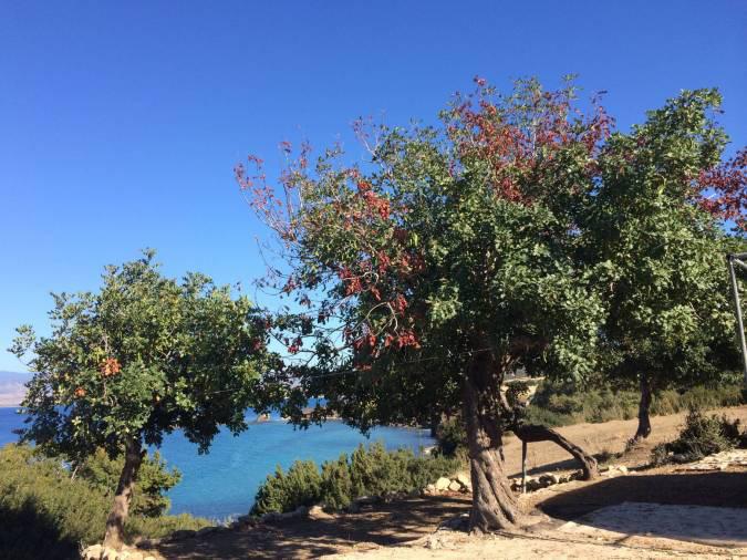 Le Caroubier, arbre aux mille vertus © Diane Cassis